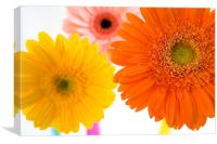 Gerbera, pink, orange, yellow, Canvas Print