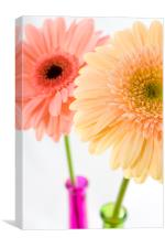 Gerbera, Pink,Peach, Canvas Print