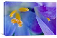 Frozen Stamen of a crocus, Canvas Print