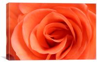 Red Rose Floribunda closeup, Canvas Print
