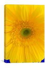 Yellow Gerbera Closeup, Canvas Print