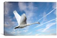 Swan in flight, Canvas Print