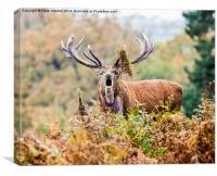 Red Deer, Stag, Canvas Print