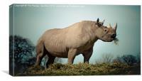 Black Rhinoceros, Canvas Print