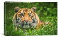 Tiger cub, Canvas Print