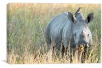 Baby Rhino, Canvas Print