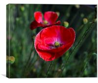 Poppies At The End Of Summer, Canvas Print