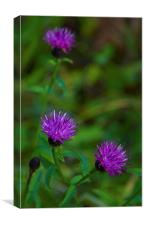 Beauty in the wild -Common Knapweed, Canvas Print
