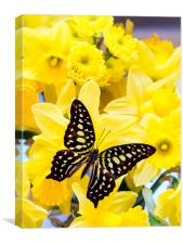 Beautiful butterf ly on yellow daffodill flowers |, Canvas Print