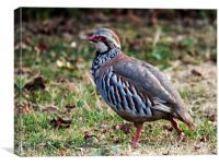Red Legged Partridge, Canvas Print