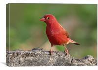 Red Billed Firefinch ( Lagonosticta senegala), Canvas Print