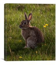 Rabbit posing for the camera at Elmley Nature Rese, Canvas Print