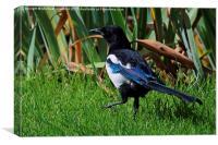 Eurasian Magpie, Pica Pica, Canvas Print