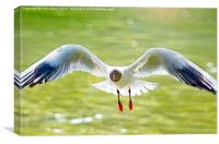 Black Headed Gull in flight, Canvas Print