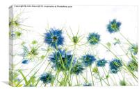 Nigella (Love in a mist), Canvas Print