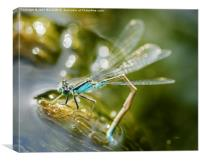 Blue  Damselfly laying eggs, Canvas Print