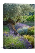 Olive Tree in French Garden, Canvas Print