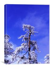 Snow laden, Canvas Print