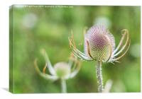 Teasel flower, Canvas Print
