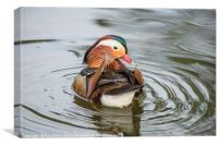 Mandarin Duck Looking Back, Canvas Print