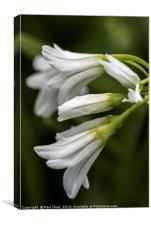 Three Cornered Leek, Canvas Print