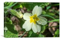 Primrose with Dewdrops, Canvas Print