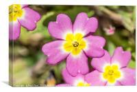 Wild Pink Primrose, Canvas Print