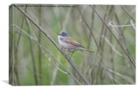 Small Whitethroat Bird, Canvas Print