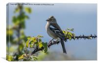 Chaffinch Perched on Bramble, Canvas Print