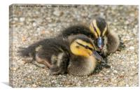 Young Mallard Ducklings, Canvas Print