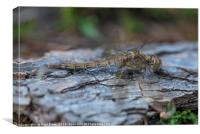 Resting Common Darter Dragonfly, Canvas Print