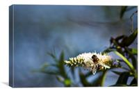 Hover Fly On Heebie, Canvas Print