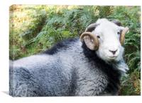 Herdwick sheep, Canvas Print