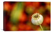 Poppy Seed Head., Canvas Print