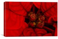 Poinsettia., Canvas Print