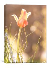 Backlit Tulip., Canvas Print
