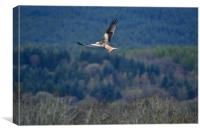 Red Kite in flight, Canvas Print