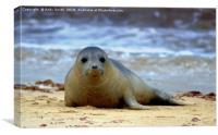 Seal at Horsey Gap Norfolk, Canvas Print