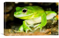 White-lipped Tree Frog, Canvas Print