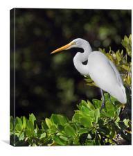 Great Egret Florida Everglades, Canvas Print