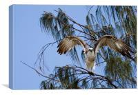 Osprey taking flight, Canvas Print