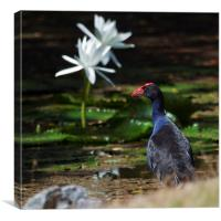 Purple Swamphen and water lilies, Canvas Print