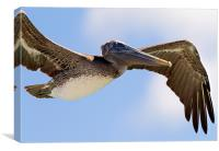 Pelican in flight, Florida keys, Canvas Print