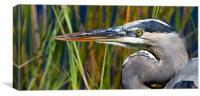 Great Blue Heron Florida Everglades, Canvas Print