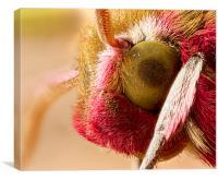 Elephant Hawk Moth extreme macro, Canvas Print