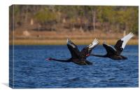Australian Black Swans in Flight, Canvas Print