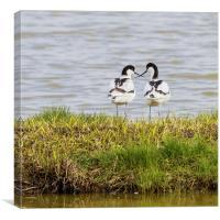 A pair of Avocets crossing beaks, Canvas Print