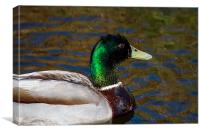 Beautiful iridescent Mallard Duck, Canvas Print