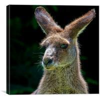 Backlit Kangaroo Portrait, Canvas Print