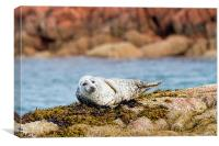 Cute Grey Seal Pup on Mull Scotland, Canvas Print